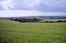 Linseed_field,_South_Downs_Way_2